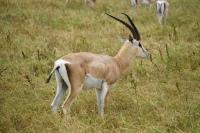 Le Springbok