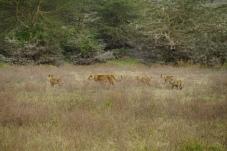Lionne et ses lionceaux